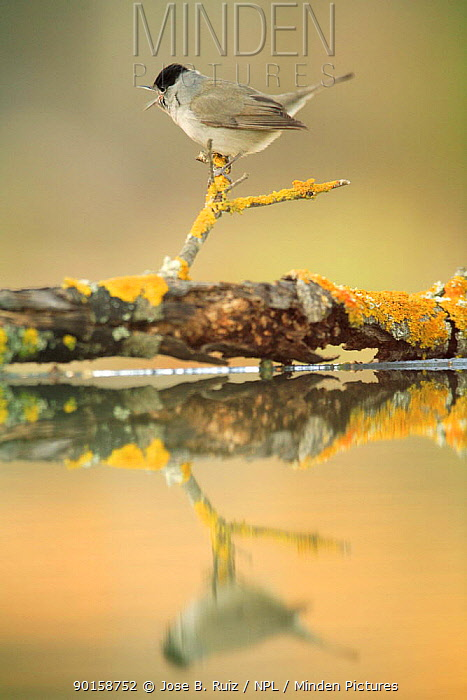 Male Blackcap (Sylvia atricapilla) singing on branch, Spain  -  Jose B. Ruiz/ npl