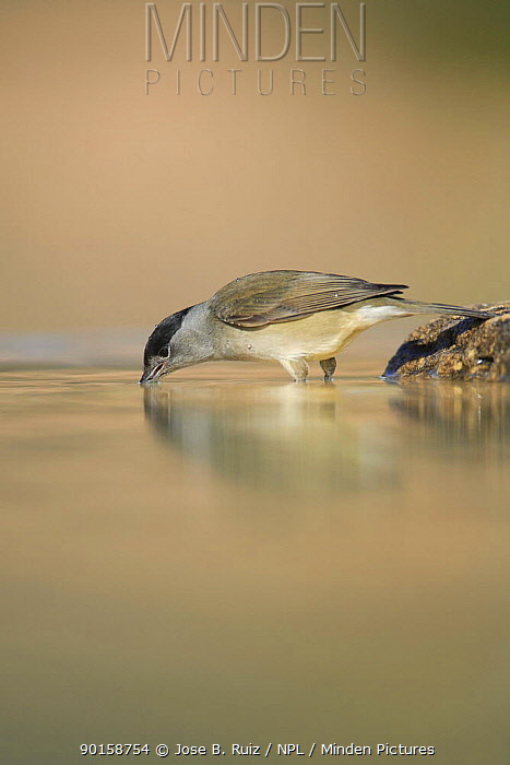 Male Blackcap (Sylvia atricapilla) drinking, Spain  -  Jose B. Ruiz/ npl