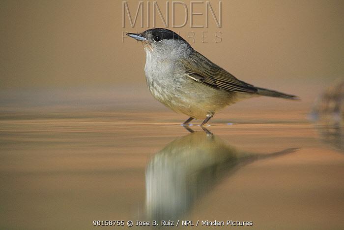 Male Blackcap (Sylvia atricapilla) standing in water, Spain  -  Jose B. Ruiz/ npl