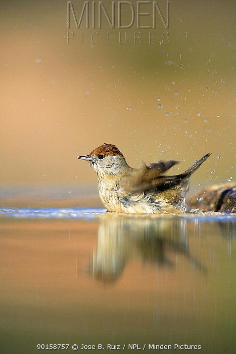 Female Blackcap (Sylvia atricapilla) bathing in water, Spain  -  Jose B. Ruiz/ npl