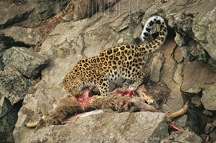 Wild Amur leopard (Panthera pardus orientalis) feeding on wild goat prey, Ussuriland, Far East Russia, 2004  -  Barrie Britton/ npl