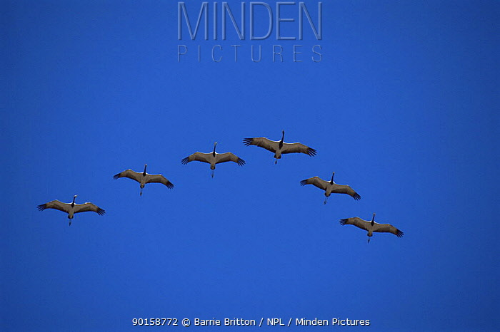 Demoiselle cranes (Anthropoides virgo) on migration flying over the Himalayas, Nepal, c 2004  -  Barrie Britton/ npl