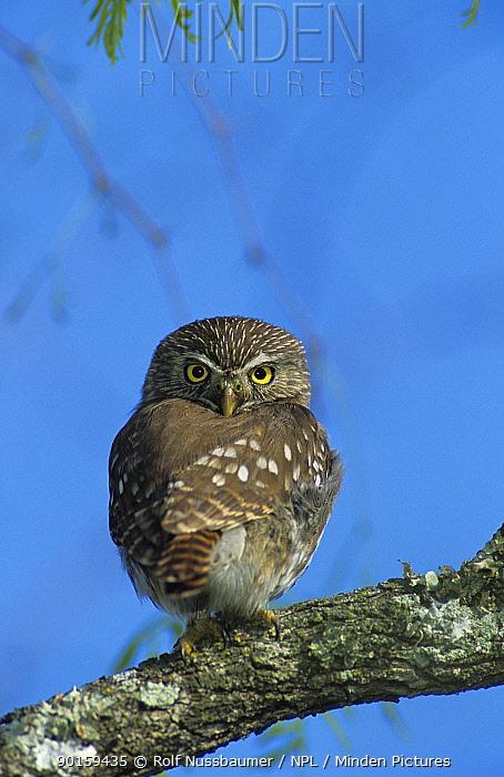 Ferruginous Pygmy-Owl (Glaucidium brasilianum) with head turned to face backwards, Willacy County, Rio Grande Valley, Texas, USA June 2004  -  Rolf Nussbaumer/ npl