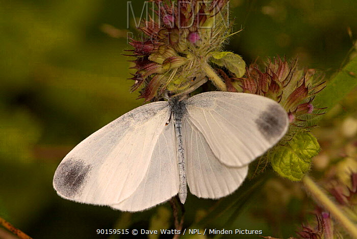 Wood White butterfly (Leptidea sinapsis) resting on flower, France  -  Dave Watts/ npl