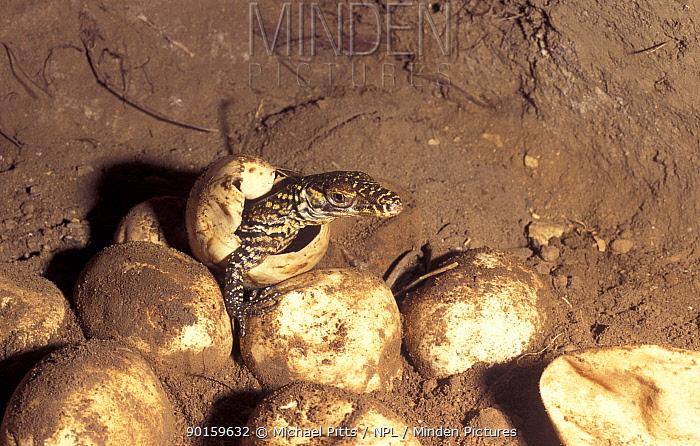 Young hatchling Komodo dragon (Varanus | Stock Photo | 446x700
