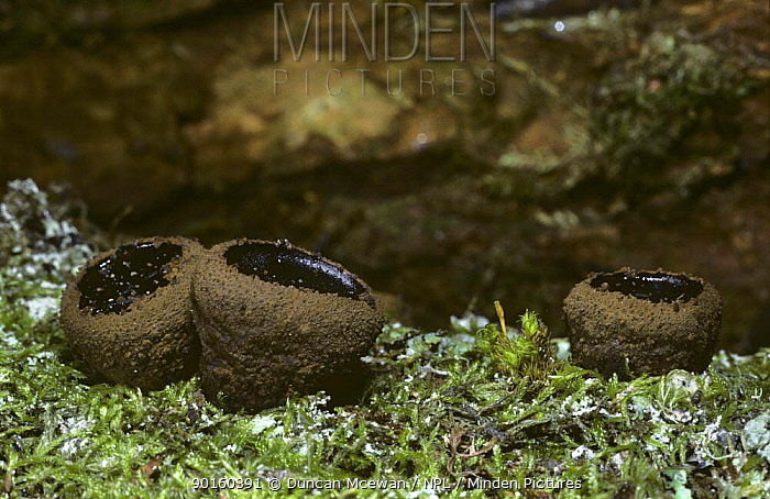 Batchelor's Buttons, Black Bulagar fungus (Bulgaria inquinans) on dead oak, Scotland  -  Duncan McEwan/ npl