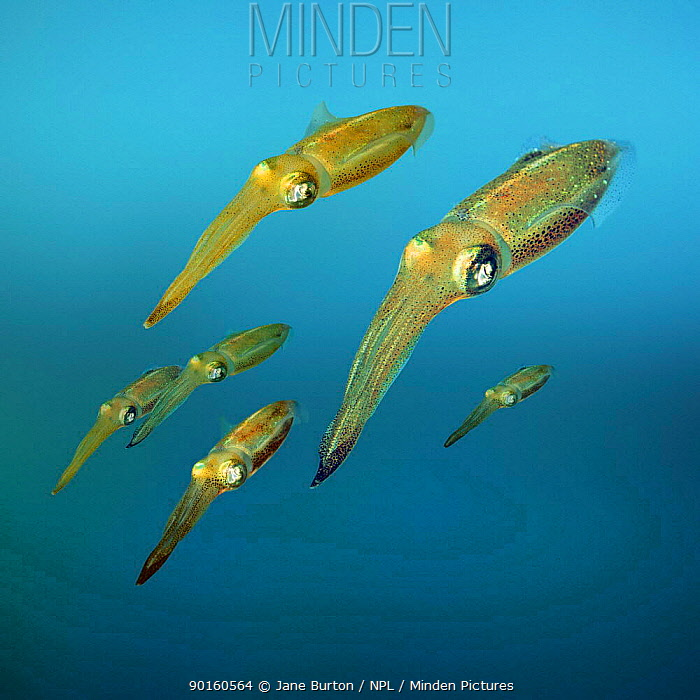 Caribbean reef squid (Sepioteuthis sepioidea) captive, Digital composite  -  Jane Burton/ npl