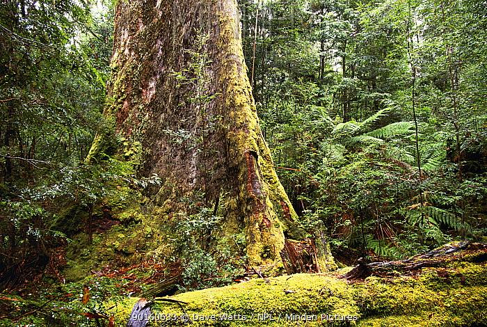 Minden Pictures Stock Photos Swamp Gum Tree Eucalyptus