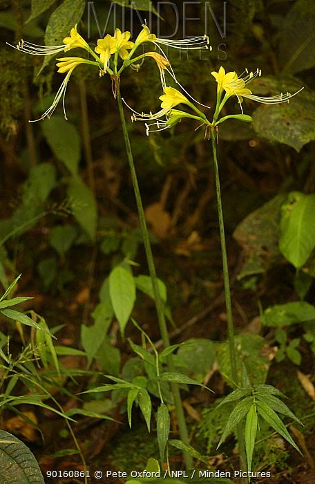 Amaryllis lily (Eucrosia dodsonii) Mindo cloud forest, Ecuador  -  Pete Oxford/ npl