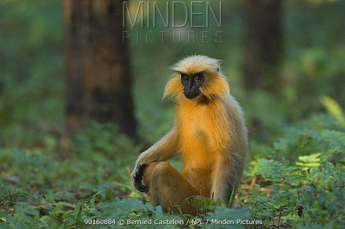 Golden Leaf, Golden Langur monkey (Trachypithecus, Presbytis geei) sitting on forest floor, Endangered, Kaziranga NP, Assam, India  -  Bernard Castelein/ npl