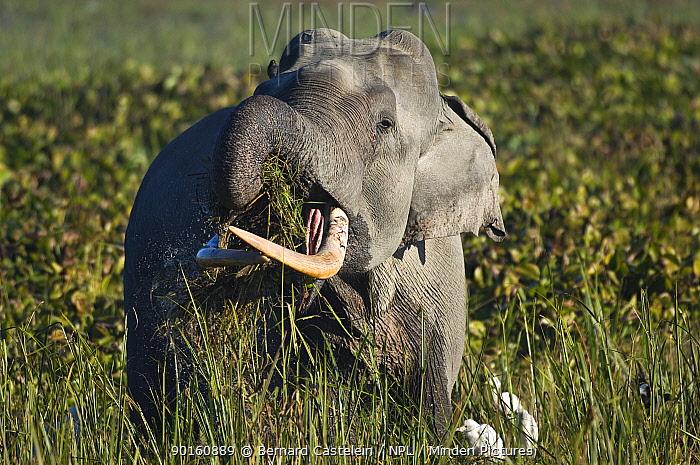Indian elephant (Elephas maximus) male using trunk to feed on grass, Assam, India  -  Bernard Castelein/ npl