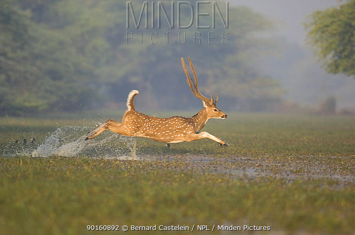 Chital, Spotted Deer (Axis, Cervus axis) male leaping through water, Keoladeo Ghana NP, Bharatpur, Rajasthan, India  -  Bernard Castelein/ npl