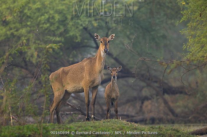 Nilgai (Boselaphus tragocamelus) female with young, Keoladeo Ghana NP, Bharatpur, Rajasthan, India  -  Bernard Castelein/ npl
