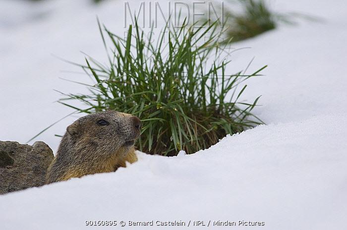 Alpine Marmot (Marmota marmota) in snow, Mercantour NP, Alpes Maritimes, France  -  Bernard Castelein/ npl