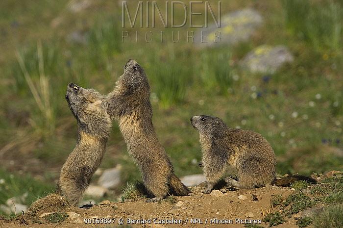 Alpine Marmots (Marmota marmota) play fighting, Mercantour NP, Alpes Maritimes, France  -  Bernard Castelein/ npl