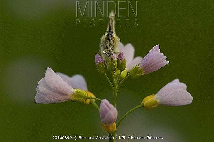 Orange tip butterfly (Anthocharis cardamines) female on Cuckoo-flower (Cardamine pratensis) Belgium  -  Bernard Castelein/ npl