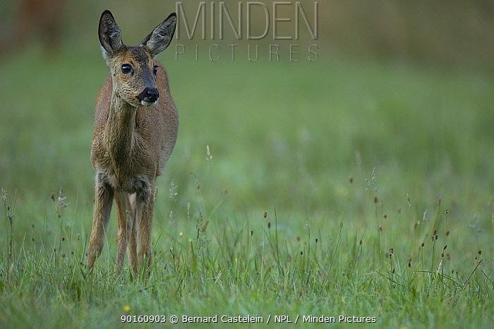 Roe Deer (Capreolus capreolus) female, Wuustwezel, Belgium  -  Bernard Castelein/ npl