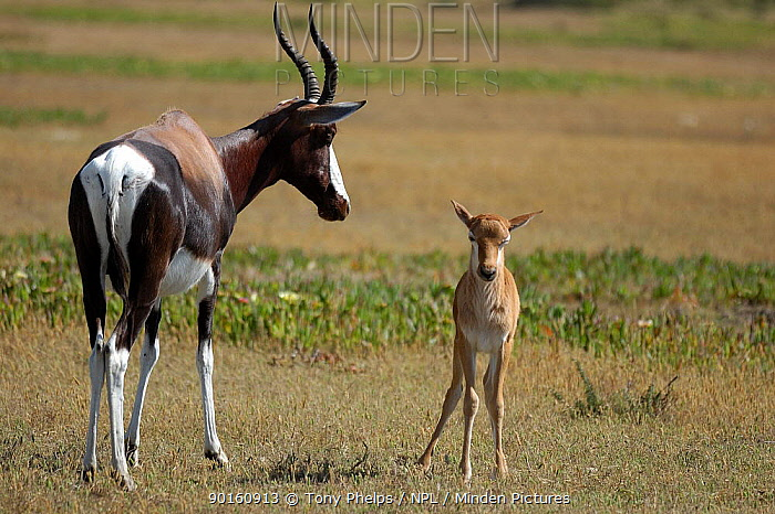 Bontebok (Damaliscus dorcas) female with calf, DeHoop NR, Western Cape, South Africa  -  Tony Phelps/ npl