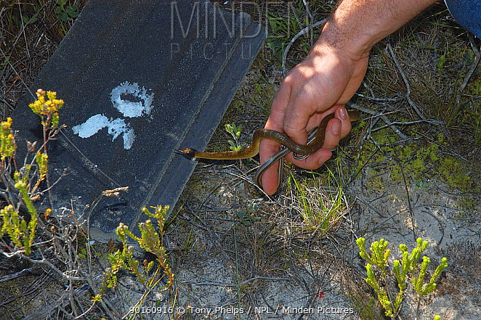 Herald snake (Crotaphopeltis hotamboeia) and Cross-marked (Psammophis crucifer) Whip snake being released, De Hoop Nature Reserve, South Africa  -  Tony Phelps/ npl