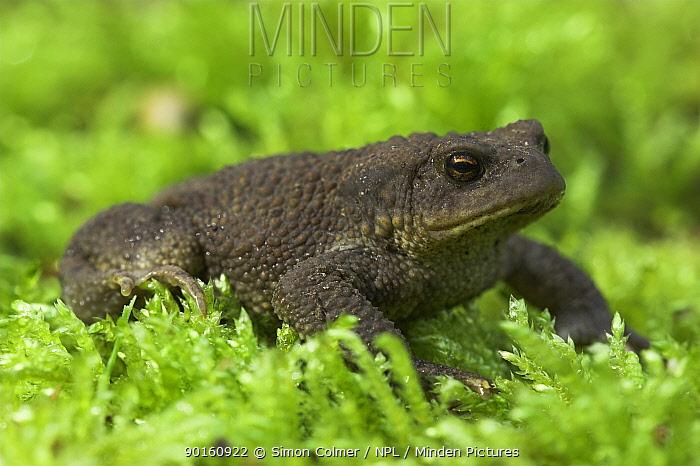 Common European Toad (Bufo bufo) on moss,  -  Simon Colmer/ npl