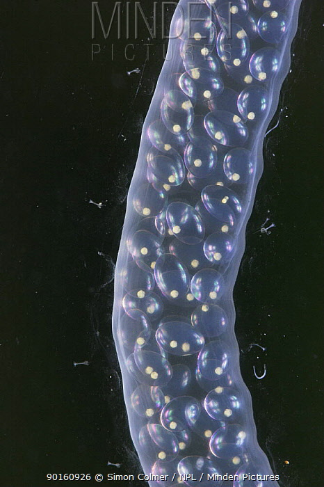 Close-up of eggs in egg case of Great Pond Snail (Lymnaea stagnalis), captive UK  -  Simon Colmer/ npl