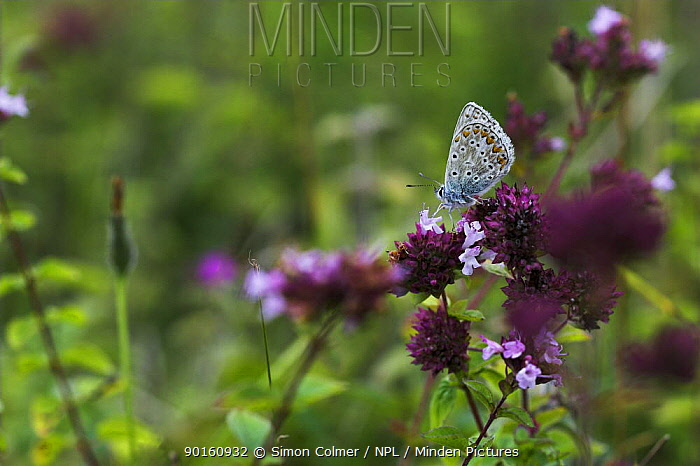 Common Blue Butterfly (Polyommatus icarus) on wild thyme (Thymus praecox) Levin Down Nature Reserve, Sussex, UK  -  Simon Colmer/ npl