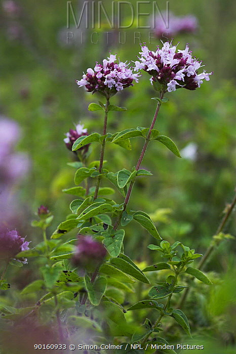 Flowering Wild Thyme (Thymus praecox) Levin Down Nature Reserve, Susse, UK  -  Simon Colmer/ npl