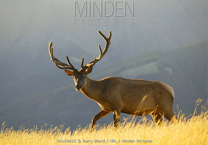 Red deer stag (Cervus elaphus) Kelvin Hieghts, Queenstown, New Zealand  -  Barry Bland/ npl