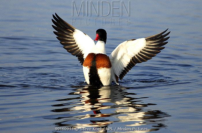 Shelduck (Tadorna tadorna) duck flapping wings on water, UK  -  Steve Knell/ npl