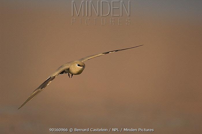 Small, Little pratincole (Glareola lactea) in flight, Bund Baretha, Rajasthan, India  -  Bernard Castelein/ npl