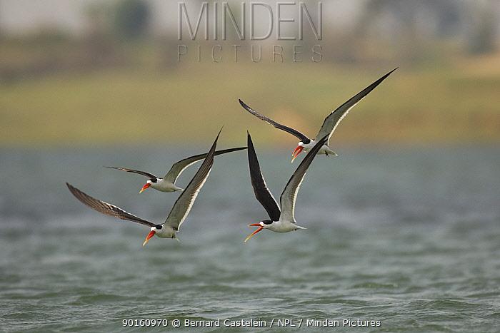 Indian skimmers (Rynchops albicollis) in flight over water, Bund Baretha, Rajasthan, India  -  Bernard Castelein/ npl