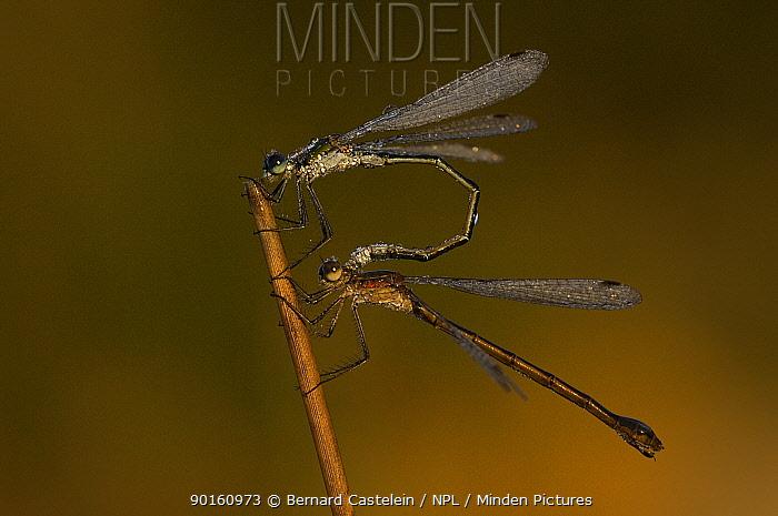 Emerald damselfly (Lestes sponsa) mating, Groot Schietveld, Wuustwezel, Belgium  -  Bernard Castelein/ npl