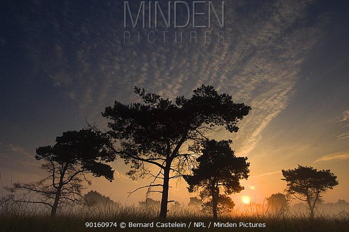 Scots pine trees (Pinus sylvestris) at sunrise, Groot Schietveld, Wuustwezel, Belgium  -  Bernard Castelein/ npl