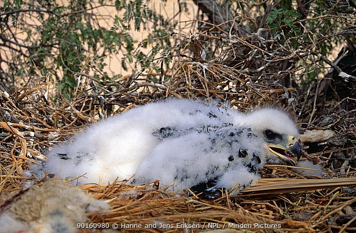 Golden eagle chick (Aquila chrysaetos) Oman, February  -  Hanne & Jens Eriksen/ npl