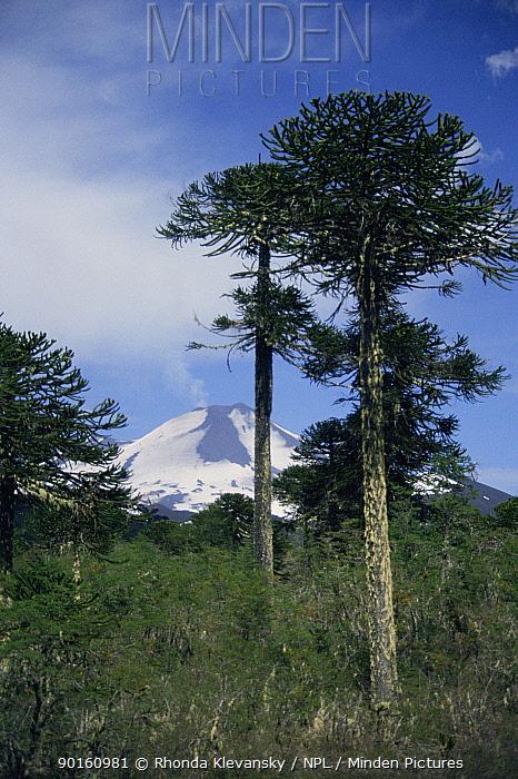 Monkey puzzle tree (Araucaria araucana) with Llaima volcano Conguillo NP, Chile  -  Rhonda Klevansky/ npl