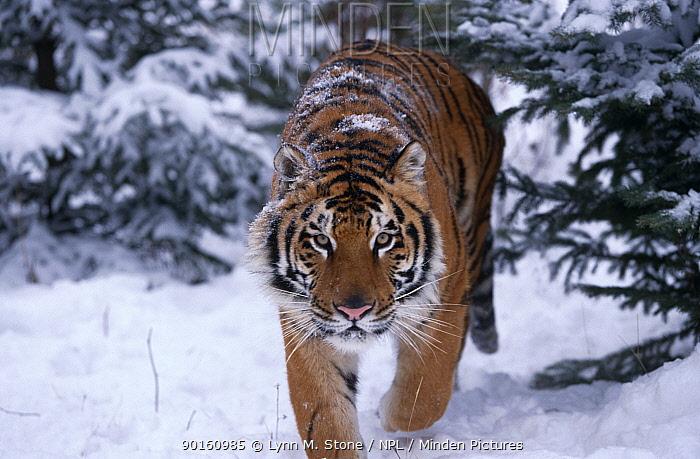 Siberian tiger walking in snow (Panthera tigris altaica) Captive  -  Lynn M. Stone/ npl