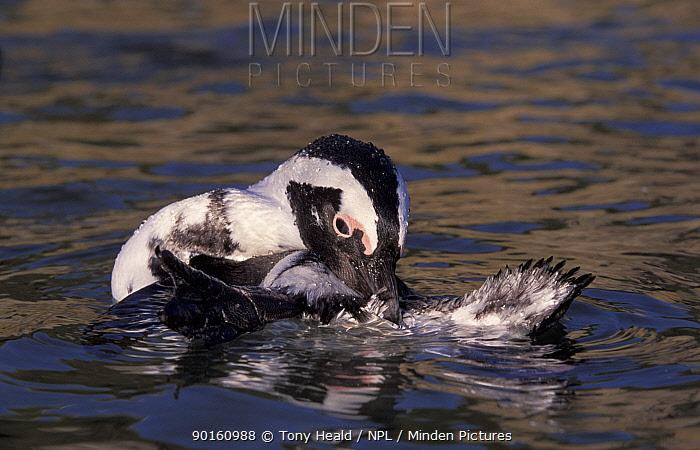 Black footed penguin, Jackass (Spheniscus demersus), preening, Boulders, South Africa  -  Tony Heald/ npl