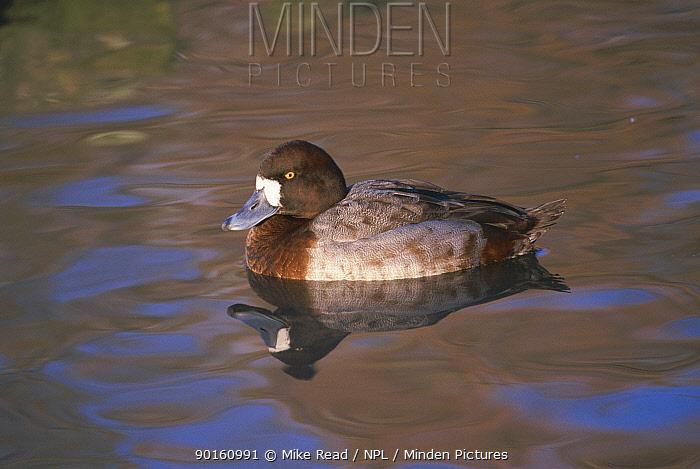 Greater scaup duck female (Aythya marila) Slimbridge WWT, UK  -  Mike Read/ npl