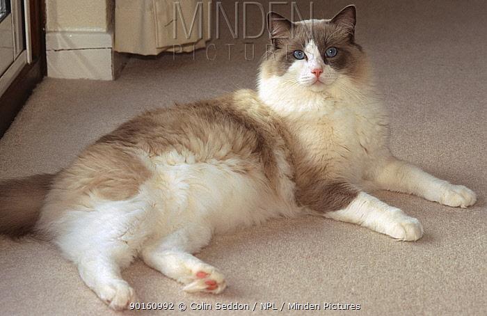 Ragdoll cat (Felis catus) blue point bi colour male Scotland, UK  -  Colin Seddon/ npl