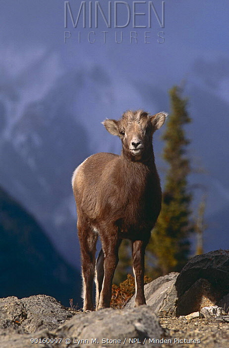 Bighorn sheep lamb portrait (Ovis canadensis) Rocky Mountains, Jasper NP, Alberta, Canada  -  Lynn M. Stone/ npl