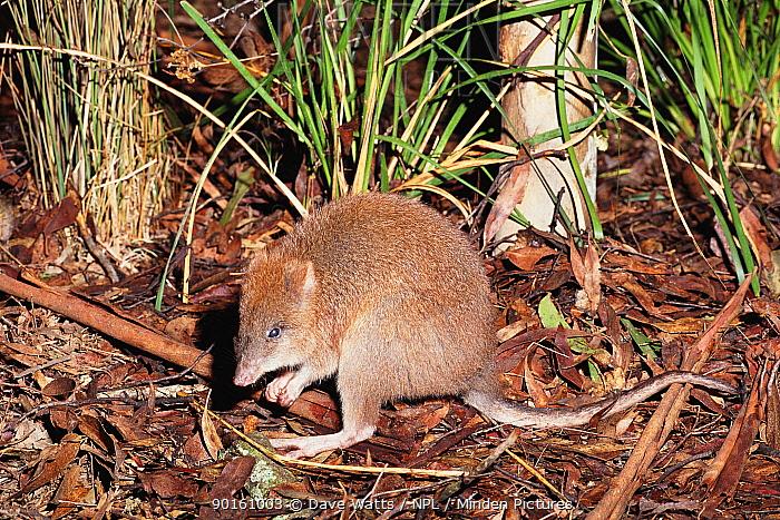 Long-footed potoroo (Potorous longipes) Australia Endangered  -  Dave Watts/ npl