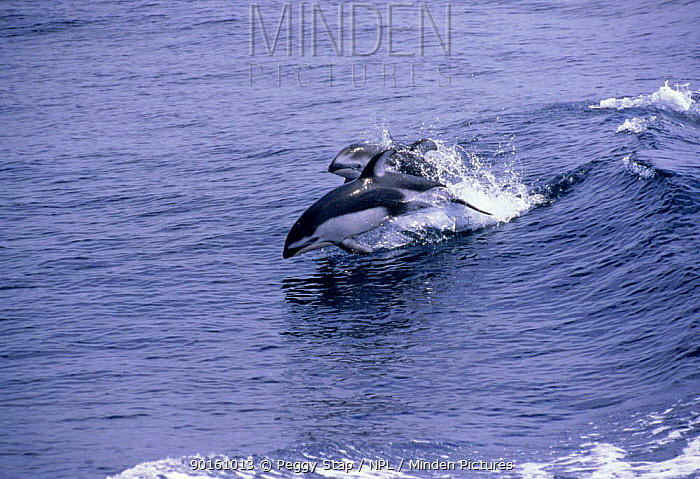 Two Pacific white-sided dolphins wake riding, CA, USA (Lagenorhynchus obliquidens)  -  Peggy Stap/ npl