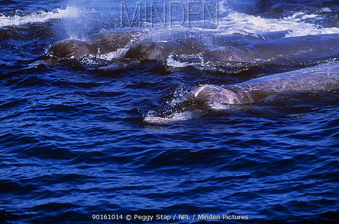 Four Baird's beaked whales (Berardius bairdii) at surface, Monterey Bay, California, USA  -  Peggy Stap/ npl