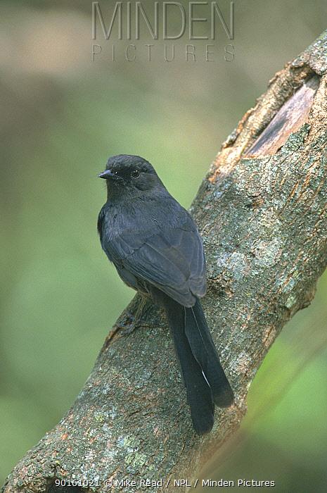 Black flycatcher (Melaenornis edoliodes) Masai Mara, Kenya  -  Mike Read/ npl