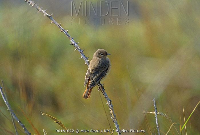 Redstart, autumn plumage (Phoenicurus phoenicurus) Norfolk, UK  -  Mike Read/ npl