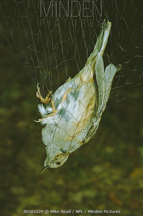 Dunnock caught in mist nest for ringing (Prunella modularis) UK  -  Mike Read/ npl