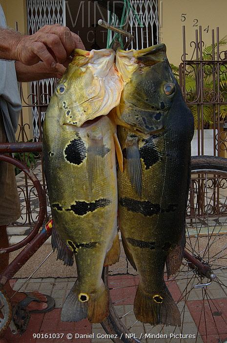 Fisherman holding two Cichlids (Cichlidae sp) Santarem, Brazil  -  Daniel Gomez/ npl