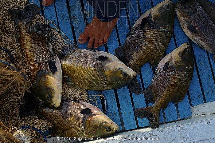 Black-finned pacu (Colossoma macropomum) caught by local fishermen, Brazil  -  Daniel Gomez/ npl