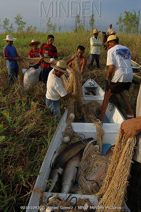 Fishermen unloading nets from boat with fresh caught Pirarucu (Arapaima gigas)  -  Daniel Gomez/ npl