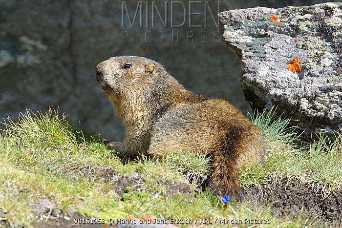 Alpine marmot (Marmota marmota) in alpine vegetation, Gross Glockner, Austria  -  Hanne & Jens Eriksen/ npl